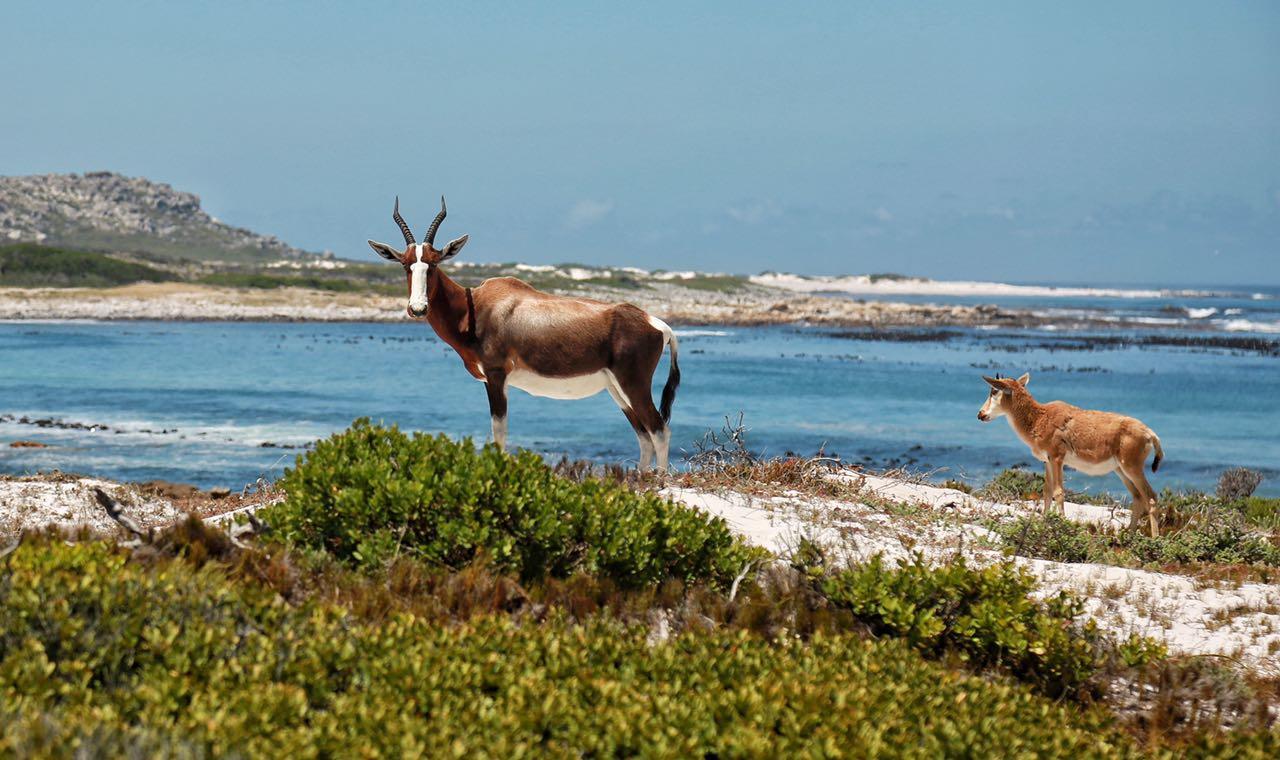 private-tour-wildlife-cape-point-bontebok-saffa-tours